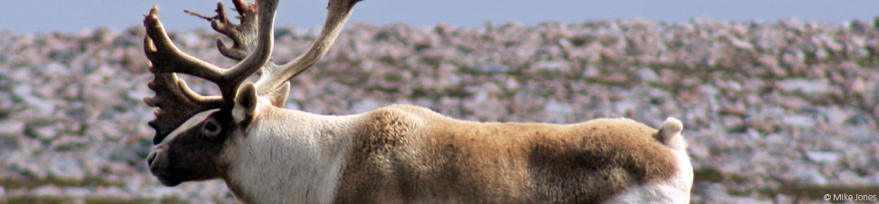 Canada's Boreal Forest: Caribou